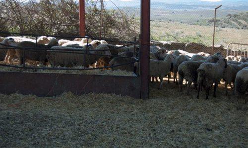 Seleción del ganado